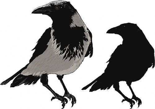 Crow and Magpie Control